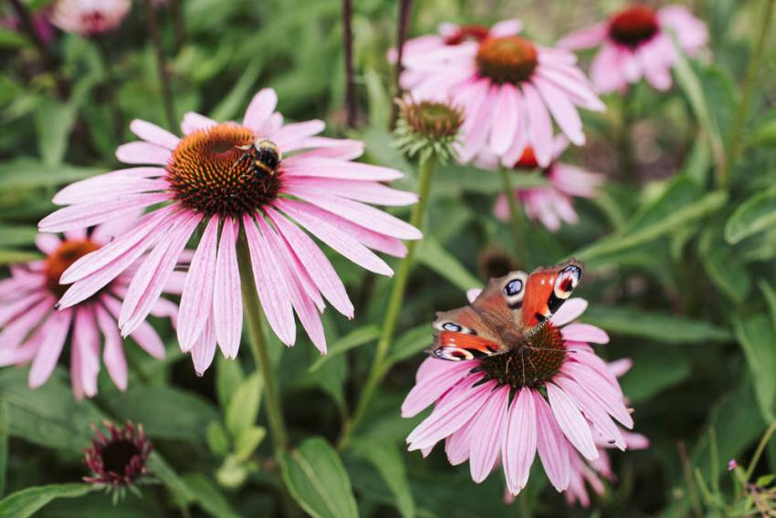 A peacock butterfly on the echinacea flowers.