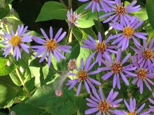 blue aster