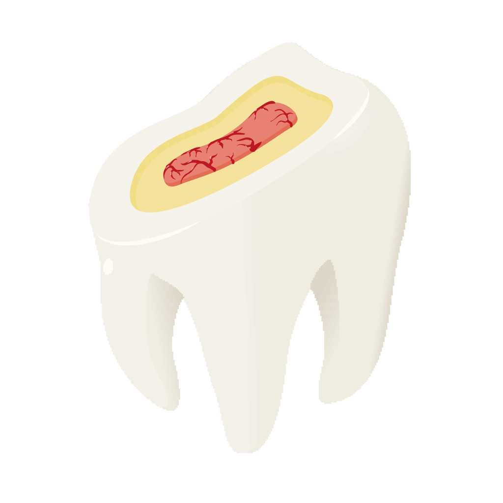 Tooth model showing the three layers of the tooth