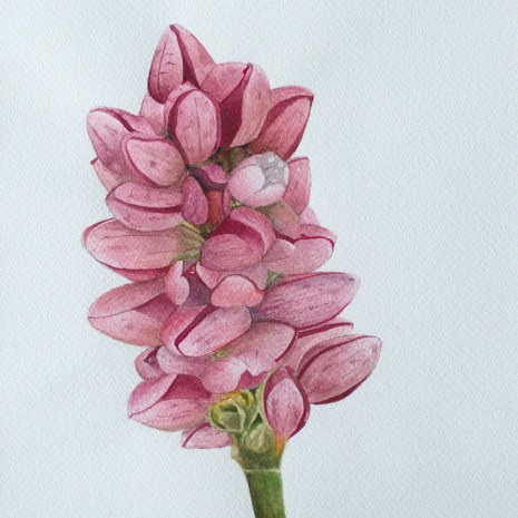 Isabelle_Jerome_Persicaria_Maculosa_watercolour_10