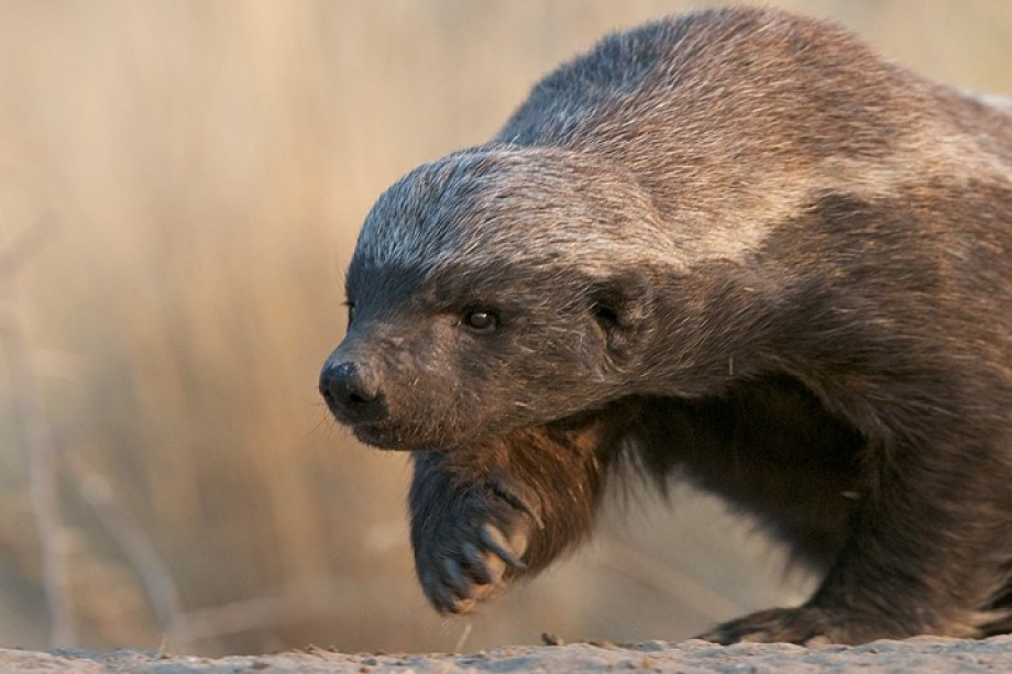 honey_badger_4