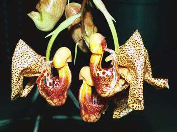 Coryanthes speciosa 'Won Hee'. © Éric Hunt