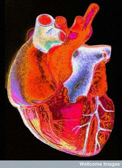 Le cœur fait circuler le sang dans l'organisme et apporte aux cellules les nutriments et l'oxygène dont elles ont besoin. Il est important de le ménager, en n'abusant pas des boissons énergisantes par exemple. © Gordon Museum-Wellcome Images, Flickr CC by nc-nd 2.0