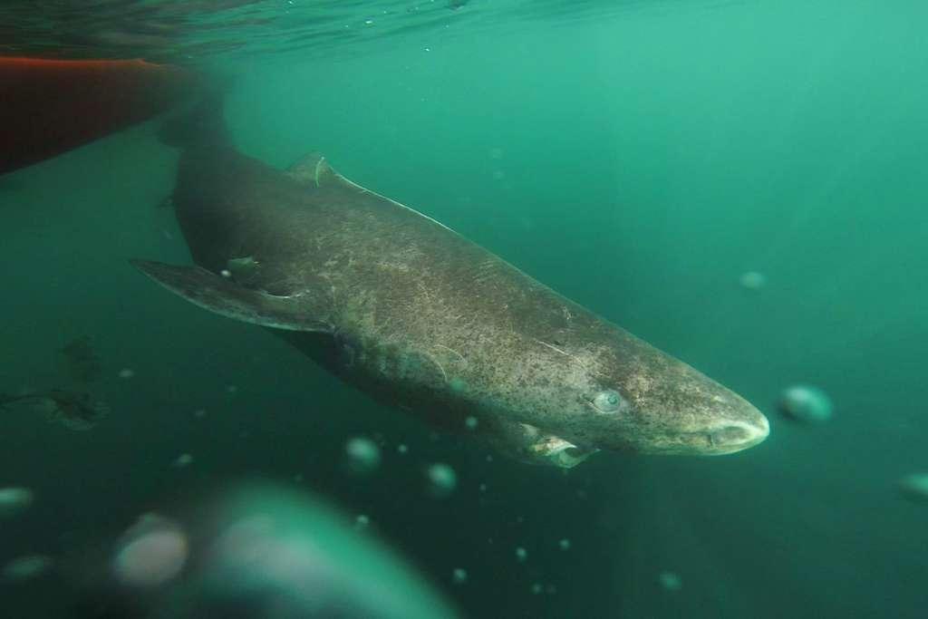 D'après une recherche parue en août 2016, le requin du Groenland serait le vertébré qui vivrait le plus longtemps. © Julius Nielsen, University of Copenhagen