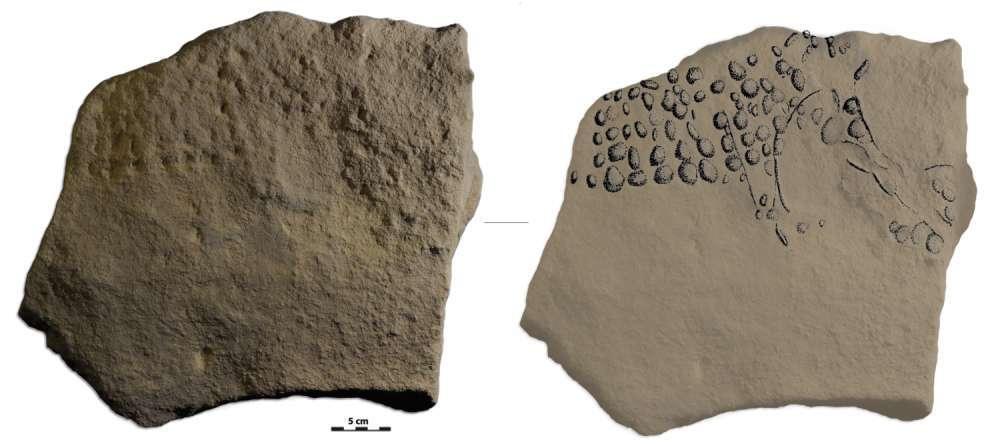 Des points gravés répartis au hasard ? Non, un dessin de mammouth laineux réalisé il y a au moins 32.000 ans par un artiste aurignacien qui vivait près de la Vézère. Des détails sur la trompe et un trait tracé au niveau de l'œil ne laissent pas de doute. De plus, le calcaire a été abrasé au niveau du dos pour donner à la pierre la forme de cet animal. © Raphaëlle Bourrillon