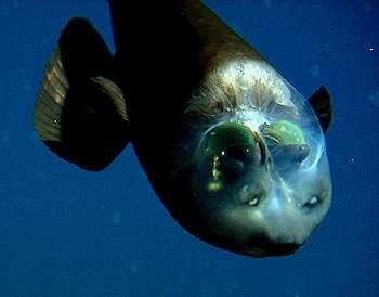 Vu de près, bien vivant, Macropinna microstoma exhibe son crâne transparent qui laisse voir ses deux yeux – les demi-sphères vertes. Les protubérances au-dessus de la bouche sont des organes olfactifs. Il est vu en position inclinée, exceptionnelle car ce poisson se tient en général à l'horizontale. Ses yeux ont tourné et il continue à regarder vers le haut. © MBari