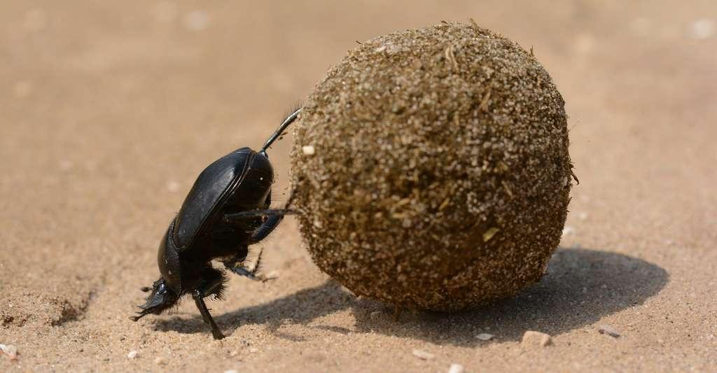 Pour transporter leur nourriture, les bousiers peuvent rouler des morceaux d'excréments en boule. © Topi_Pigula, Pixabay, CC0 Public Domain