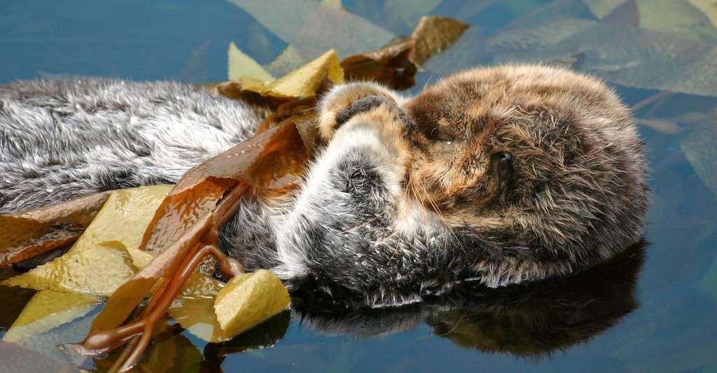 Parfois, les loutres de mer assurent aussi leur sommeil en s'empêtrant dans des algues. © Parus, Fotolia