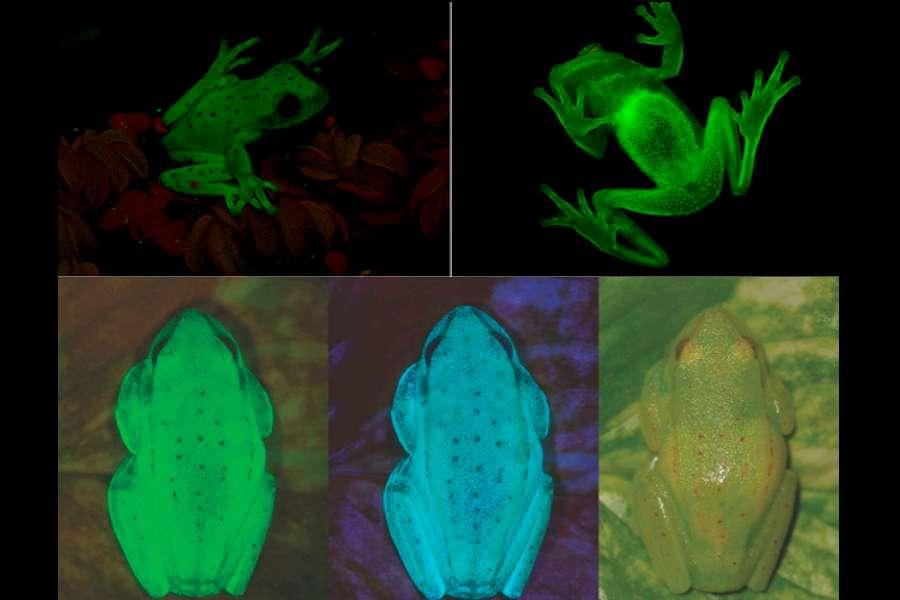 Placée sous un faisceau de lumière UV, Hypsiboas punctatus émet une fluorescence verte ou bleue plutôt puissante. © Julian Faivovich et Carlos Taboada, université de Buenos Aires, Pnas