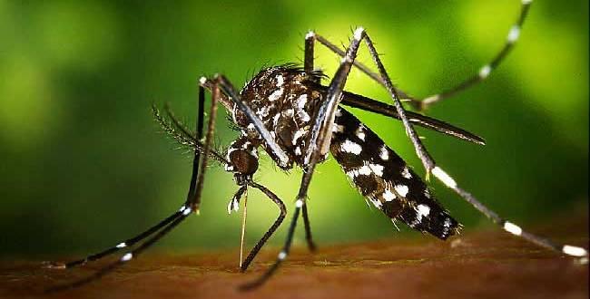 Pika - Piquer d'une moustique