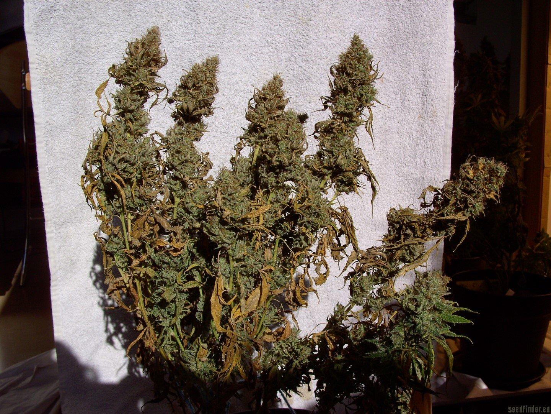 Big Bud Sensi Seeds Galerie Des Vari 233 T 233 S
