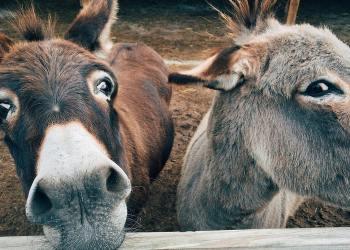 La demande chinoise menace de réduire de moitié la cheptel d'ânes mondial