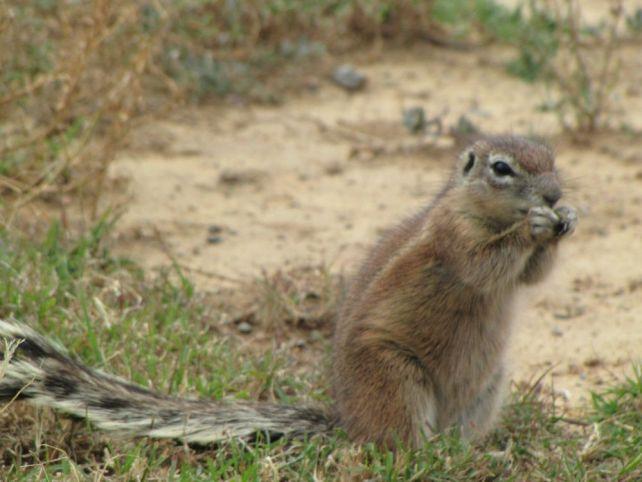 karoo ground squirrel