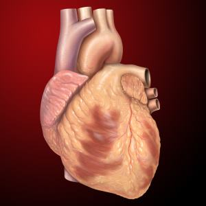 Heart anterior exterior view 300 - Nature
