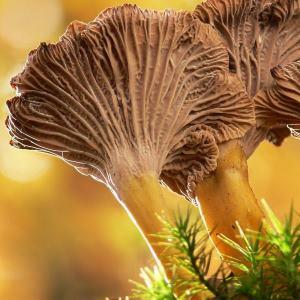 mushroom 300 - Index A-Z