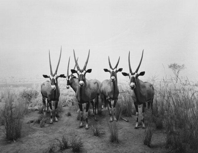 Black-and-white photograph of a museum diorama of five antelope on a savannah facing the viewer