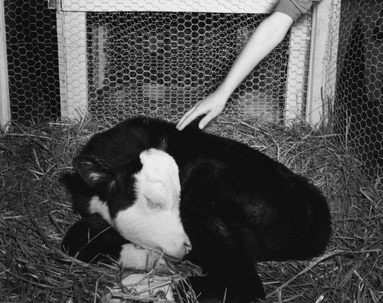 Black-and-white photograph of a sleeping calf curled up in hay being petted by a hand from above