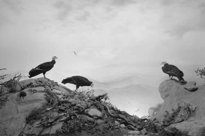 Black-and-white photograph of a museum diorama of three vultures sitting on a rocky outcrop against a mountainous background