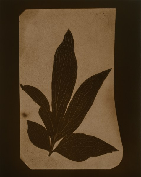 Tan-toned photograph of a sprig of elongated leaves.