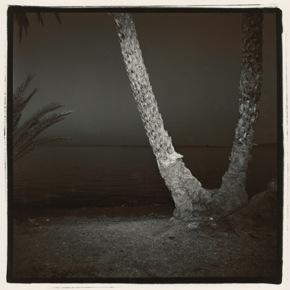 Black-and-white square photograph at night of the base of a palm tree with two branching trunks