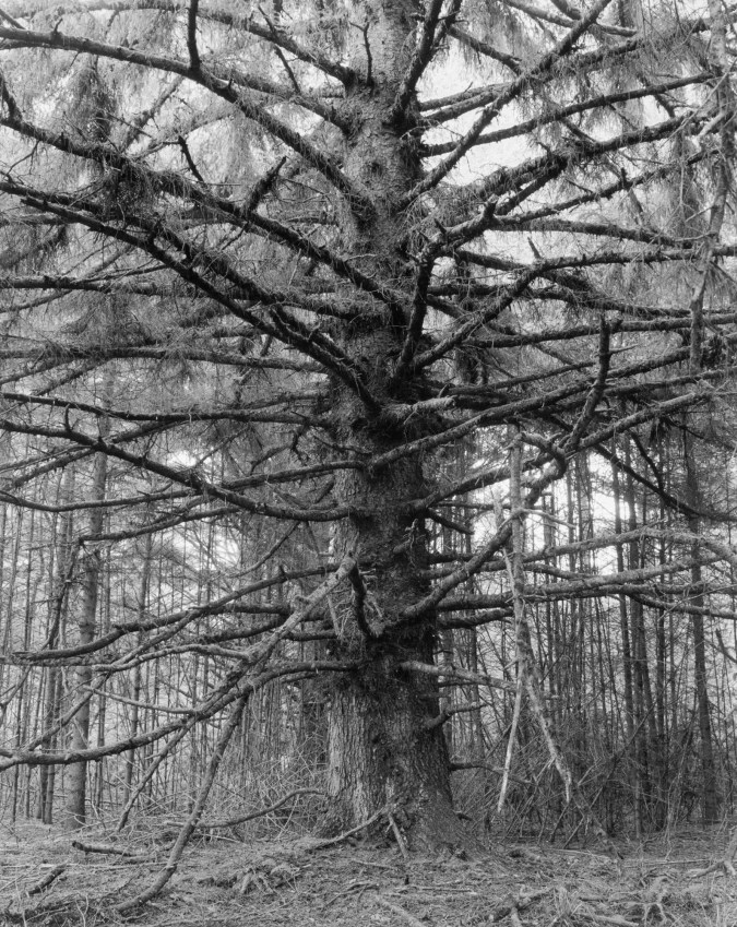 Black and white photograph of a large pine tree with its branches covered in hanging moss