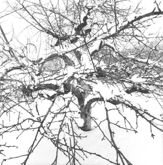 Black-and-white photograph of a tree covered in snow