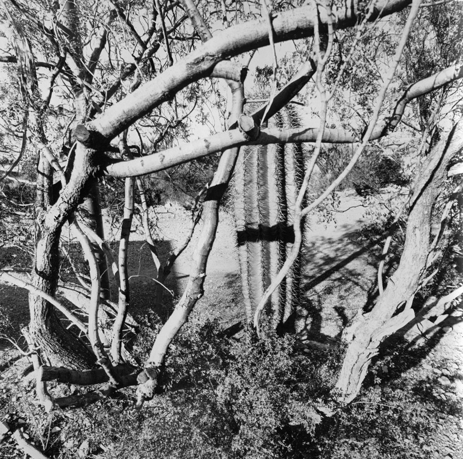 Black-and-white photograph of bare trees and a large cactus