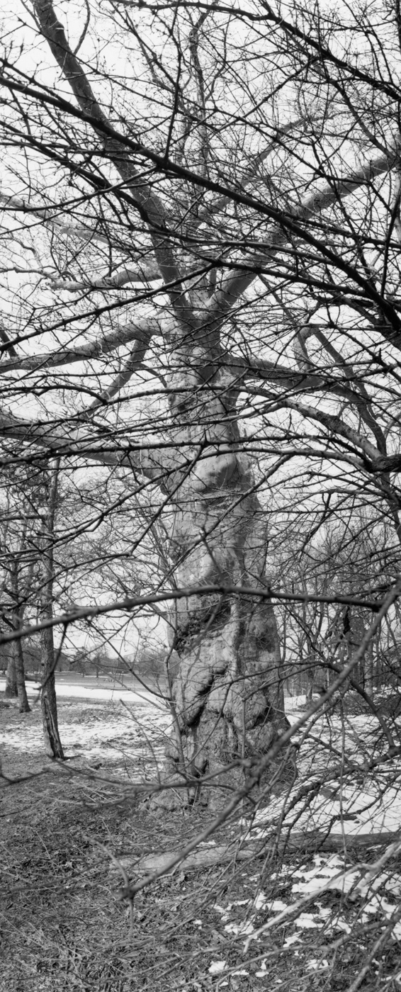 Black-and-white vertical photograph looking u at a tall bare tree