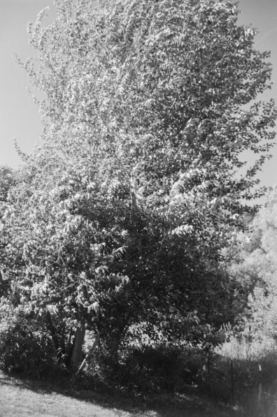 Black-and-white vertical photograph of a tree at a tilted angle