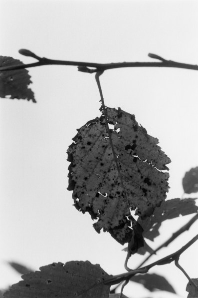 A black and white close-up photograph of a leaf on a branch