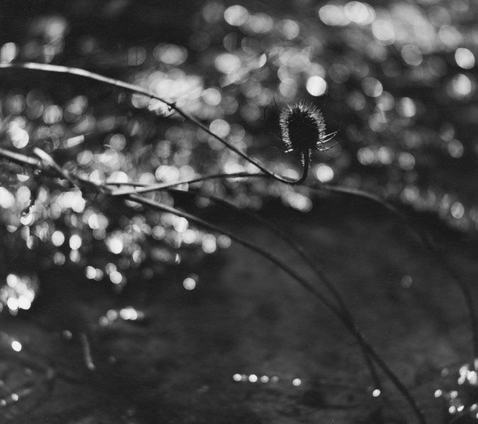 Black-and-white photograph of a spiky bud at the tip of a thin curving branch on a blurred background of running water