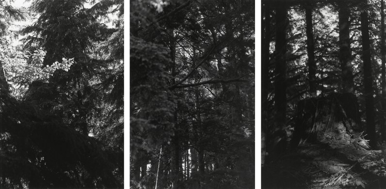 Three black-and-white vertical photographs showing details of tree branches tree trunks, and a stump in a dense forest