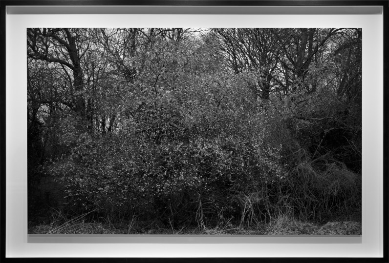 Black-and-white photograph of a low shrub against bare trees