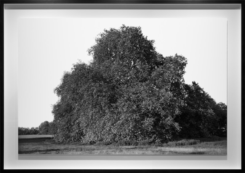 Black-and-white photograph of a large tree in a pasture with leafy branches reaching the ground