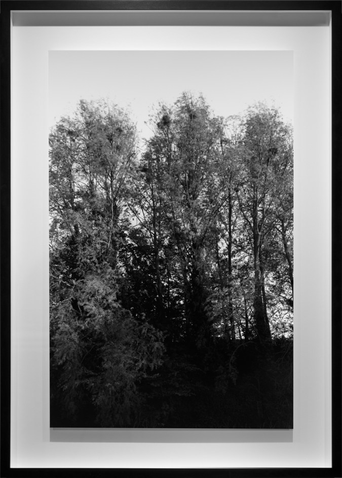 Black-and-white photograph of trees with nests perched in the upper branches