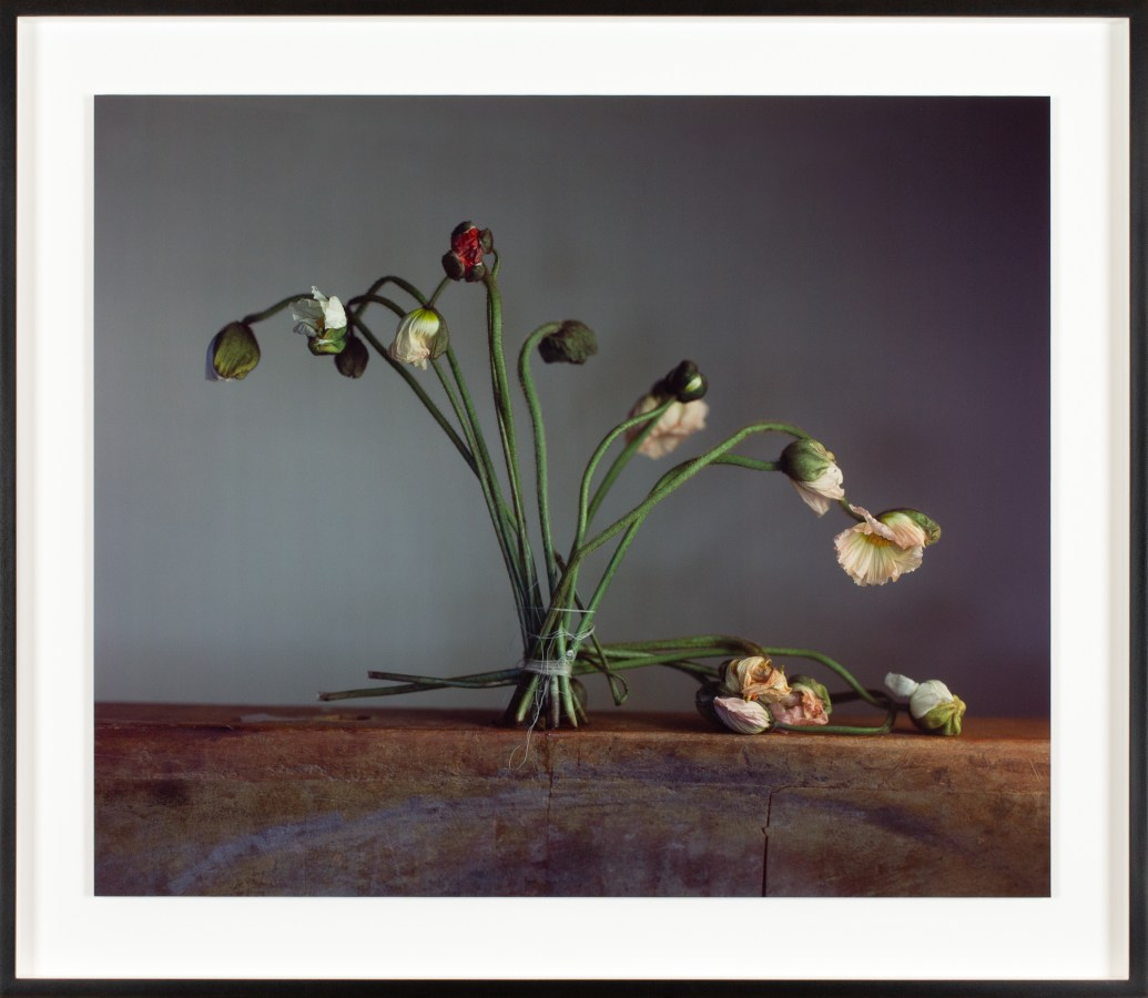 Color photograph of standing opening poppies with stems tied by string