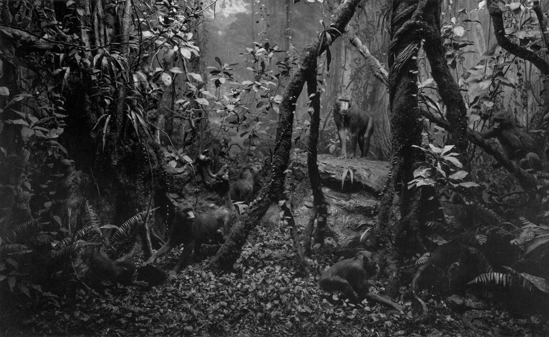 Black-and-white photograph of a diorama of a primate in a jungle landscape.