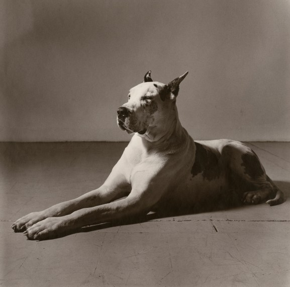 Great Dane, 1981, toned gelatin-silver print