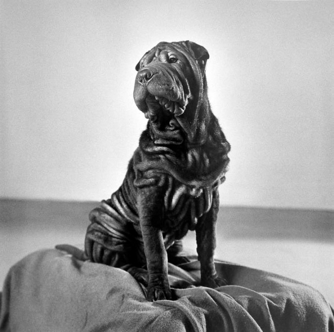 Black-and-white photograph of a seated dog with a wrinkled face and coat