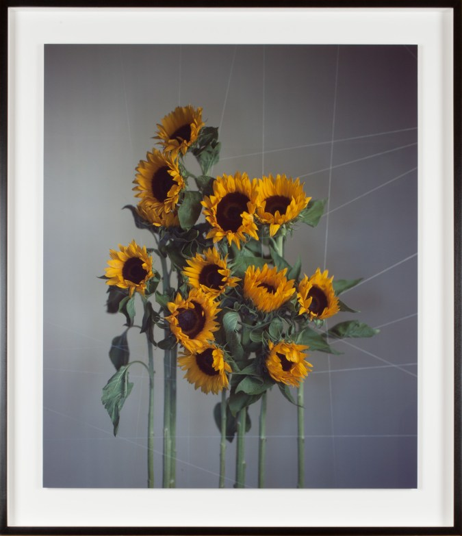 Color photograph of 11 sunflowers strung together on a cotton string armature.