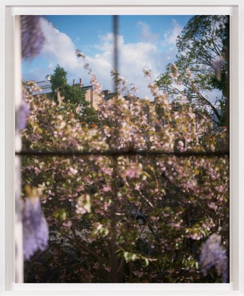 A framed photograph of a pink flowering bush, as seen through a window