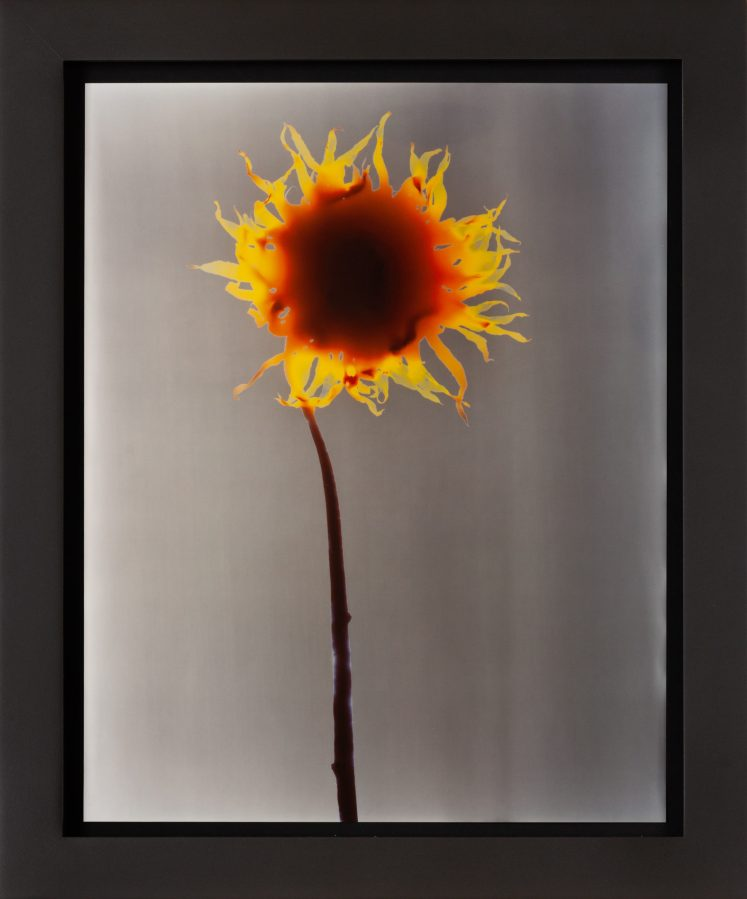 Image of a single yellow flower against a grey background