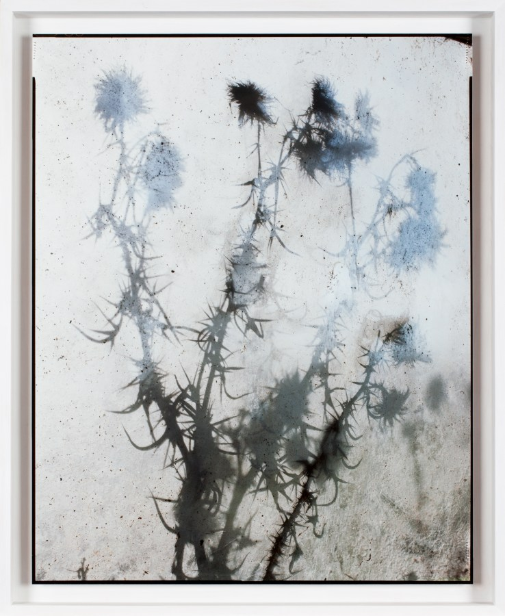 A color photograph, shot through a window, of a thistle plant up against the other side of the glass.