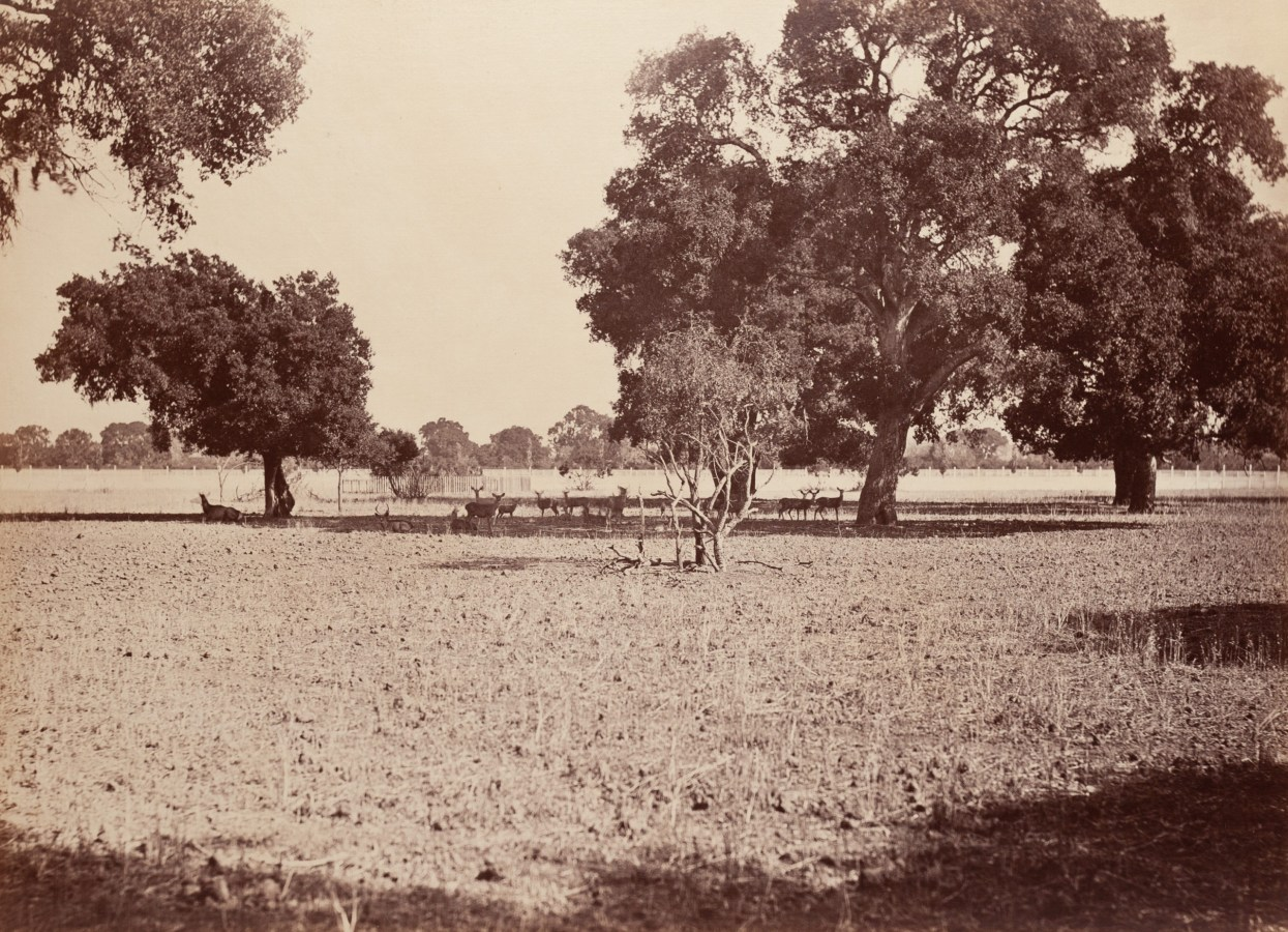 Ninteteenth century photograph of deer standing in the shade of a grove of trees