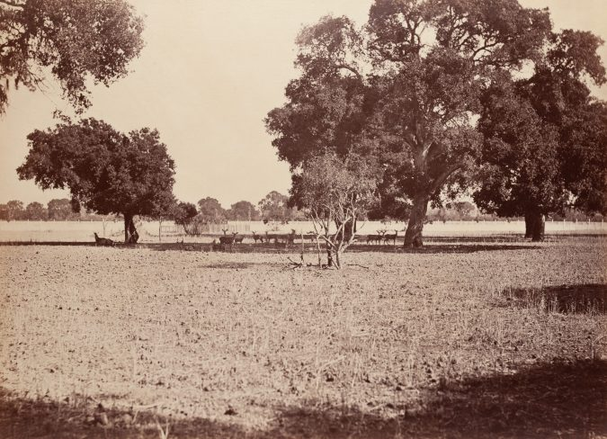 19th century photograph of deer standing in the shade of a grove of trees
