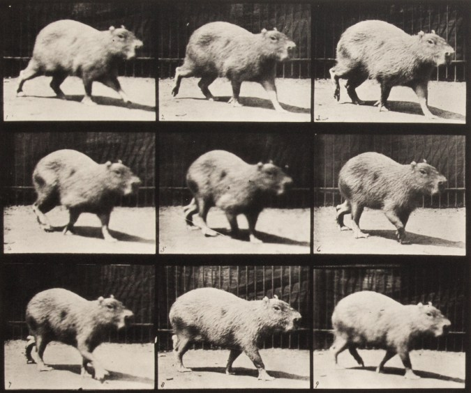 Sepia toned photograph with a grid of 9 panels showing walking capybara.