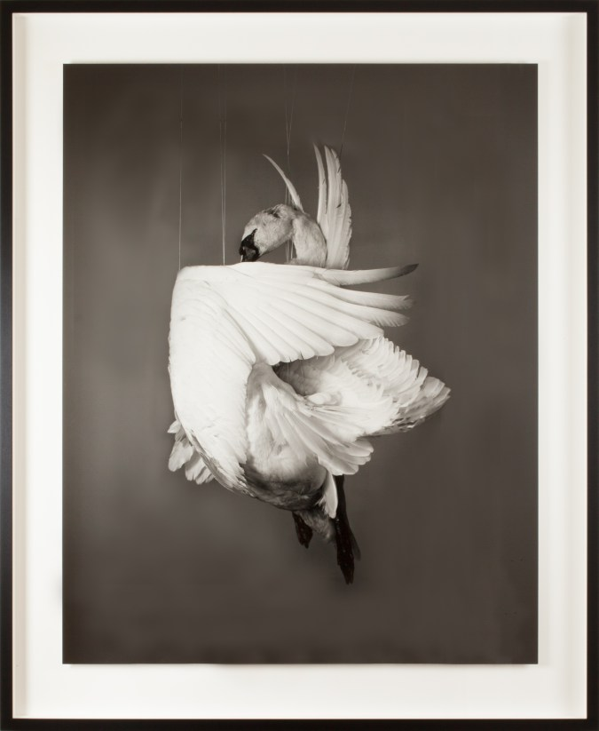 Photograph of a swan suspended mid-air, with its wing bent