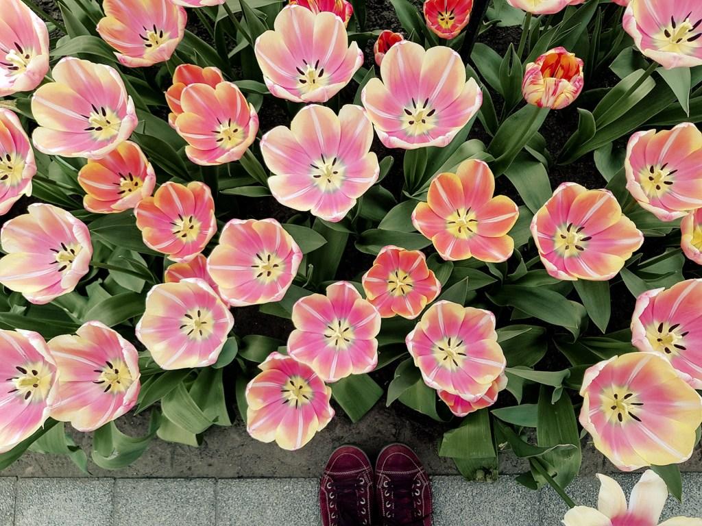 Tulpen rosa Keukenhof