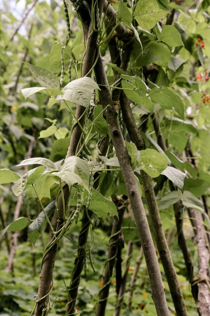 Bohnen - Gemüse für Einsteiger