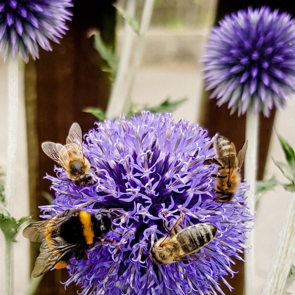 Echinops - ein Magnet für Biene & Co.
